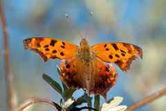 Question Mark Butterfly Stock Photo