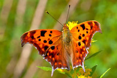 Question Mark Butterfly Stock Photography