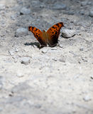 Question Mark Butterfly. (Polygonia interrogationis) basking in the sunlight Royalty Free Stock Image