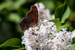 Question Mark Butterfly, Polygonia interrogationis Stock Photography