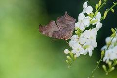 Question Mark butterfly (Polygonia interrogationis) Stock Photography