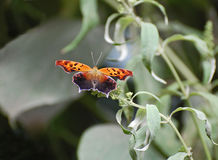 The Question Mark Butterfly Royalty Free Stock Photography