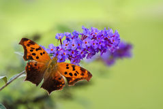 Question Mark butterfly (Polygonia interrogationis) Stock Images