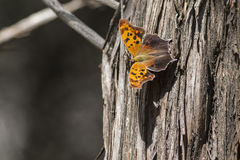 Question Mark Butterfly. Wings open on tree bathed in sunlight casting shadow stock photo