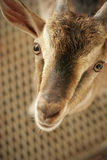 Questioning Goat. A young brown goat peering into the camera stock images