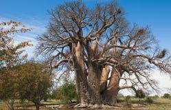 Albero di Baoba Fotografia Stock