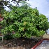 Questo albero di mango è molto piacevole immagini stock libere da diritti