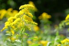 Questo arbusto audace si copre di luminoso, giallo oro Immagini Stock