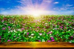 Questo bello fiore rosa di loto o della ninfea che fiorisce con la tavola di legno sull'acqua in giardino, Tailandia Fotografie Stock