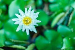 Questo bello waterlily o il fiore di loto è complimentato dai colori ricchi della superficie profonda dell'acqua blu saturato Immagini Stock Libere da Diritti