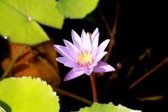 Questo bello waterlily o il fiore di loto porpora è complimentato dai colori del drak della superficie profonda dell'acqua blu co Fotografia Stock