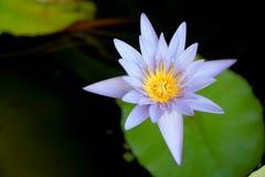 Questo bello waterlily o il fiore di loto porpora è complimentato dai colori del drak della superficie profonda dell'acqua blu co Fotografia Stock Libera da Diritti