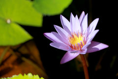 Questo bello waterlily o il fiore di loto porpora è complimentato dai colori del drak della superficie profonda dell'acqua blu co Immagini Stock