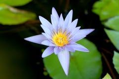 Questo bello waterlily o il fiore di loto porpora è complimentato dai colori del drak della superficie profonda dell'acqua blu co Fotografie Stock Libere da Diritti