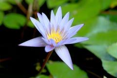 Questo bello waterlily o il fiore di loto porpora è complimentato dai colori del drak della superficie profonda dell'acqua blu co Fotografie Stock