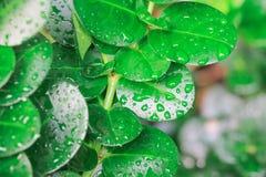 Questo genere di pianta della giungla con le goccioline di acqua può essere trovato nella regione selvaggia e fornisce l'ossigeno Fotografia Stock Libera da Diritti