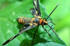 Questo insetto della farfalla, capelli gialli, corpo nero e due antenne nella testa immagini stock