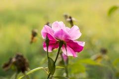 Questo nome del fiore è Sadagolap fotografia stock libera da diritti