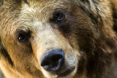 Questo orso grigio fa una pausa per un secondo sguardo. Fotografia Stock Libera da Diritti