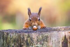 Questo scoiattolo rosso non può credere la sua fortuna Immagine Stock Libera da Diritti