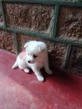 Questo tipo di cane è più comune nella casa fotografie stock libere da diritti