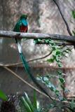 Quetzal Fotografie Stock