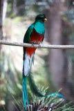 Quetzal Fotografering för Bildbyråer