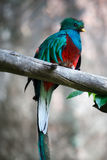 Quetzal Immagine Stock