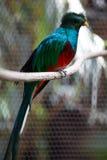 Quetzal Immagini Stock Libere da Diritti