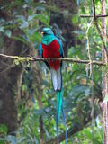 Quetzal Stock Afbeelding