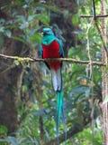 Quetzal Obraz Stock