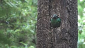 Quetzal bird showing head on tree hole nest stock video