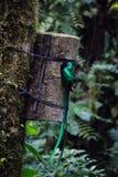 Quetzal bird wild Monteverde Costa Rica Royalty Free Stock Photo