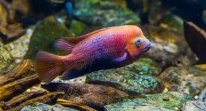 Quetzal cichlid w zbli?enia, wibruj?cej i kolorowej tropikalnej rybie, popularny dekoracyjny akwarium zwierz? domowe od Meksyk zdjęcie royalty free