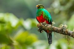 Quetzal dirigido dourado imagem de stock
