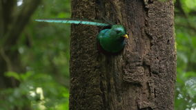 Quetzal flies in the forest stock video