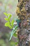 Quetzal kijkt uit van een boomboomstam in het bos Royalty-vrije Stock Fotografie