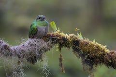 Quetzal - Pharomachrus-mocinno stockbild