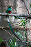 Quetzal Stock Photos