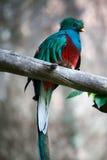 Quetzal Stock Image