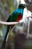 Quetzal Royalty Free Stock Images
