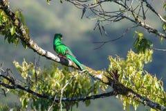 Quetzal resplandecente Foto de Stock