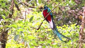Quetzal resplandeciente fotos de archivo