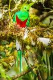 Quetzal resplandeciente Imagenes de archivo