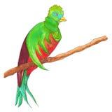 Quetzal resplandeciente en una rama Imagen de archivo