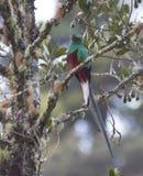 Quetzal resplandeciente masculino Fotografía de archivo libre de regalías