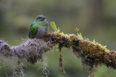 Quetzal resplandeciente - mocinno de Pharomachrus imagen de archivo