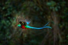 Quetzal resplandeciente que vuela, mocinno de Pharomachrus, Costa Rica, con el bosque verde en fondo Verde sagrado y rojo magnífi fotos de archivo