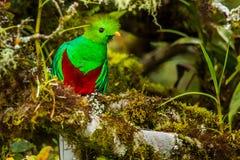 Quetzal resplendissant image stock