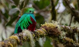 Quetzal resplendissant en Costa Rica images stock